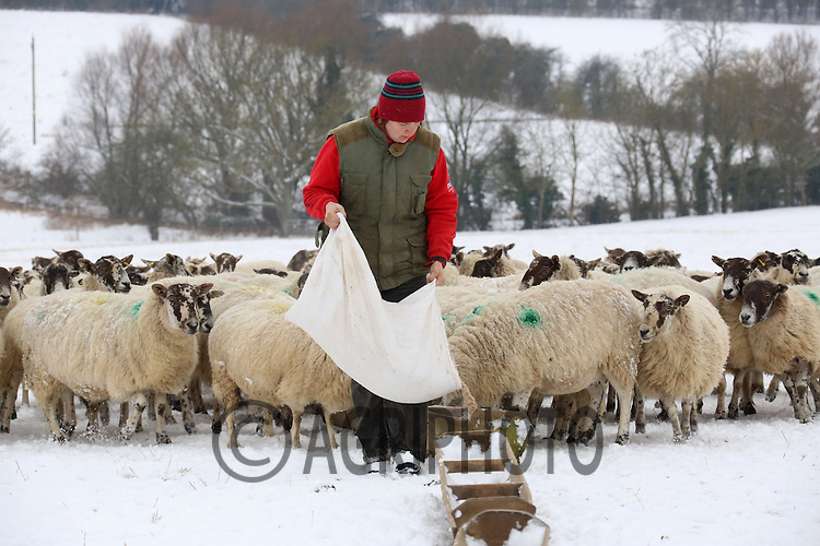 Liz Genever at Croft Farm,Uffington,Stamford,.Lincolnshire,feeding Ewe's in the  snow.Picture Tim Scrivener date taken 19th January  2012.mobile 07850 303986 e-mail tim@agriphoto.com.....covering agriculture in the Uk....