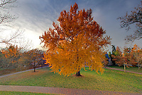 The University of Virginia gingko tree in fall on central grounds.