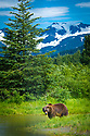 July 17 thru 23 / Alaska / Vacation and stock photography / Alaskan Black Bear runs free at an Alaskan Natural Preserve near Portage Alaska / Photo by Bob Laramie