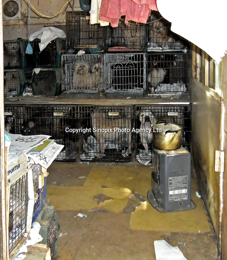 "Conditions in a breeders ""puppy mill"" in Ibaraki, Japan show the horrendous conditions that many breeders operate under. Breeders are largely unregulated in Japan..photo by  / Sinopix............"