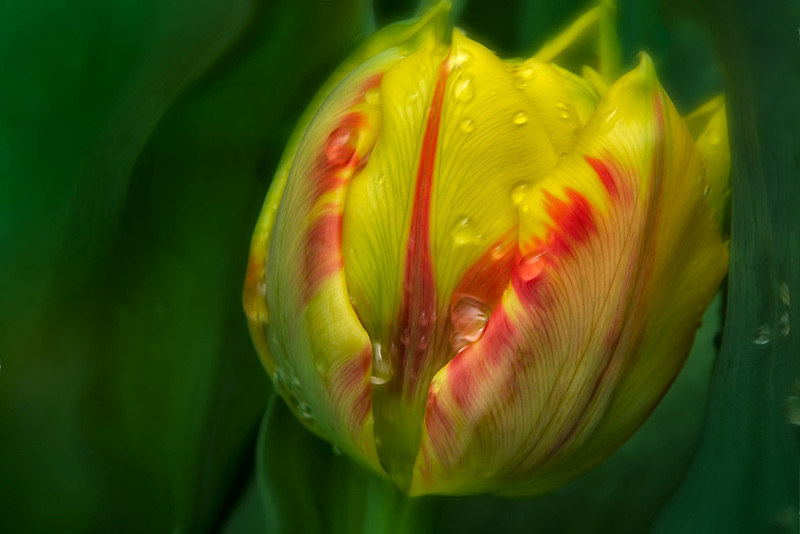 Close up of tulip after rain. Oregon