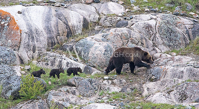 This grizzly sow had three new cubs and was seen frequently near Slough Creek.  By mid-June one of the cubs had disappeared.