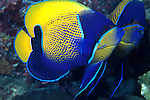 Pomacanthus navarchus; blue girdled angelfish