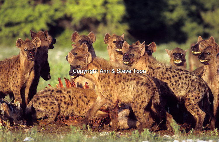 Spotted hyena, Crocuta crocuta, pack on kill, Etosha national park, Namibia
