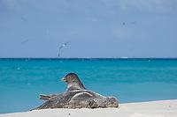 Hawaiian monk seals, Neomonachus schauinslandi, Critically Endangered Species, Sand Island, Midway, Atoll, Midway Atoll National Wildlife Refuge, Papahanaumokuakea Marine National Monument, Northwest Hawaiian Islands ( Central North Pacific Ocean )