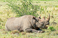Black Rhinoceros (Diceros bicornis), Kenya, Africa