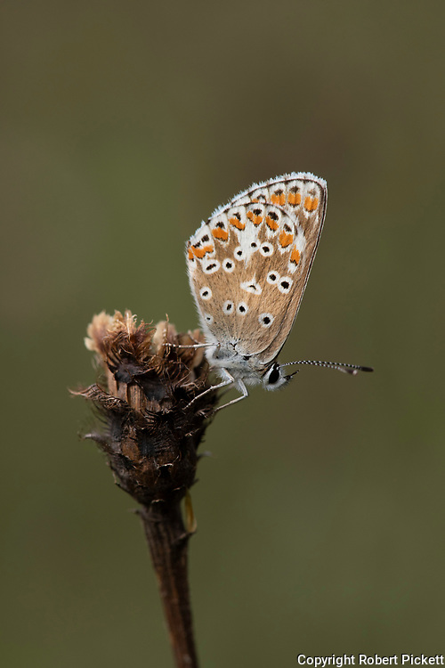 Brown Argus Butterfly, Aricia agestis,  Queensdown Warren, Kent Wildlife Trust, UK, resting on flower, underside of wings
