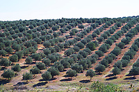 olive grove herdade do peso alentejo portugal