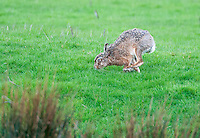Hare at Dinkling Green, Whitewell, Lancashire.