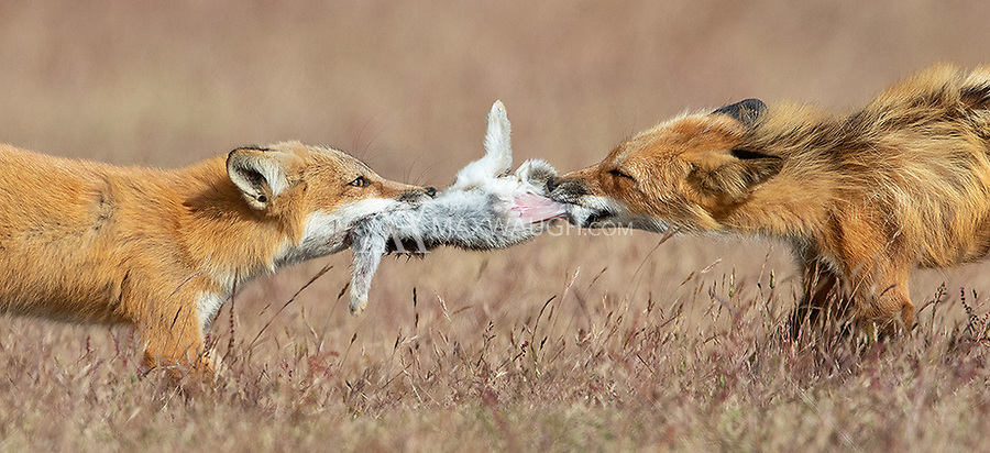 A vixen (right) and one of her kits fight over a prized rabbit. The kit actually won the tug of war and walked away with most of the meal.