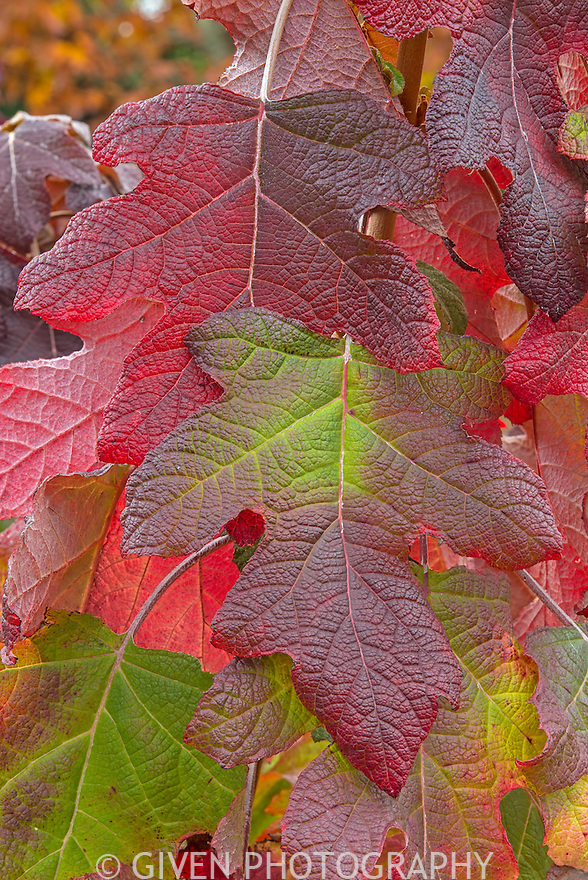 Hydrangea leaves in autumn