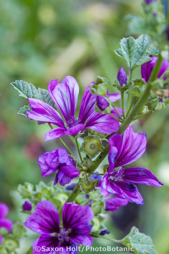 Malva hybrid, Yanker-Hansen garden