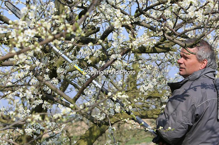 Foto: VidiPhoto<br /> <br /> SLIJK-EWIJK - Fruitbomen bloeien sneller dan telers kunnen snoeien. De pruimenbomen van fruitteler Frederik Bunt uit het Gelderse Slijk-Ewijk staan al in volle bloei, maar zijn nog niet gesnoeid. Dat gebeurt donderdag, ondanks de bloesem. De natuur loopt dit jaar volgens Bunt twee weken voor op het schema van de snoeiers, dat doorloopt tot begin april. Frederik Bunt is met 25 ha. en 30 soorten de grootste pruimenteler van ons land.