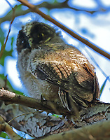 Baby long-eared owl