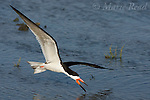 Black Skimmer (Rynchops niger), adult in breeding plumage, in flight low over water, Bolsa Chica Ecological Reserve, California, USA
