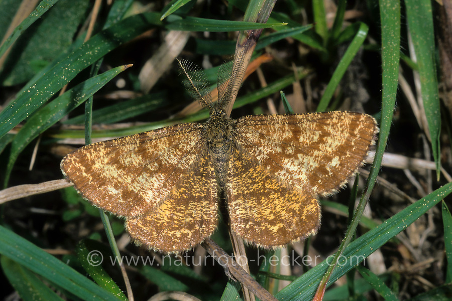 Heidespanner, Heide-Spanner, Ematurga atomaria, common heath, common heath moth, la Phalène picotée, Spanner, Geometridae, looper, loopers, geometer moths, geometer moth