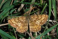 Heidespanner, Heide-Spanner, Ematurga atomaria, common heath, common heath moth, la Phalène picotée, Spanner, Geometridae, looper, loopers, geometer moths, geometer moth