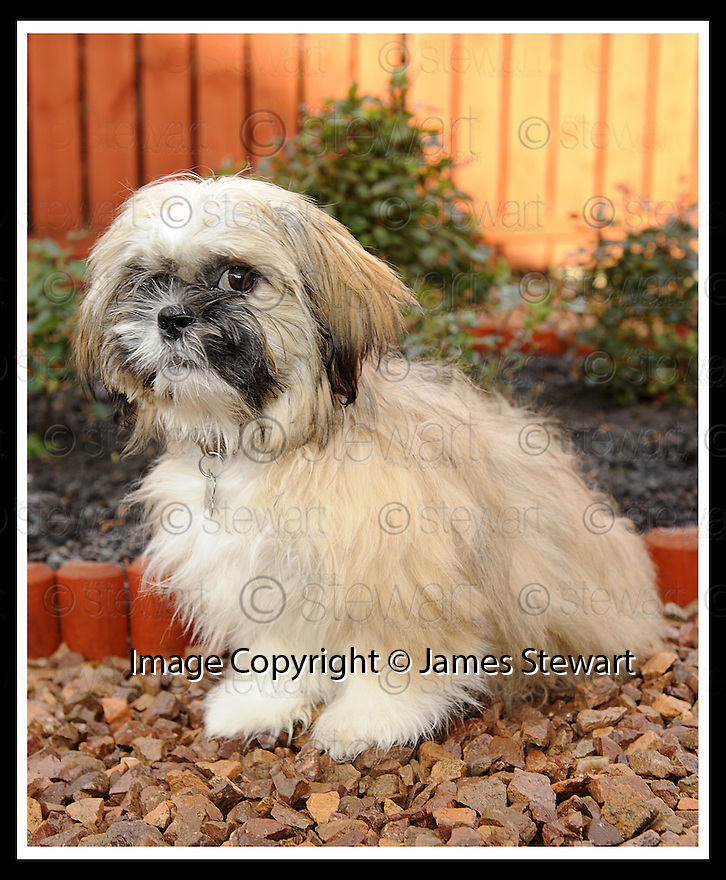 02/12/2008  Copyright Pic: James Stewart.File Name : sct_jspa11_bil_munnoch.HAMISH THE SHIH-TZU WHO HAS BEEN OFFERED  TO AMERICAN PRESIDNT ELECT BARAK OBAMA AS A PET FOR HIS CHILDREN BY HIS OWNER BILL MUNNOCH FROM FALKIRK.....James Stewart Photo Agency 19 Carronlea Drive, Falkirk. FK2 8DN      Vat Reg No. 607 6932 25.Studio      : +44 (0)1324 611191 .Mobile      : +44 (0)7721 416997.E-mail  :  jim@jspa.co.uk.If you require further information then contact Jim Stewart on any of the numbers above.........
