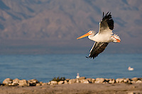 570040012 a wild white pelican pelecanus erythrorhynchos soars over the shoreline at the salton sea national wildlife refuge in southern california