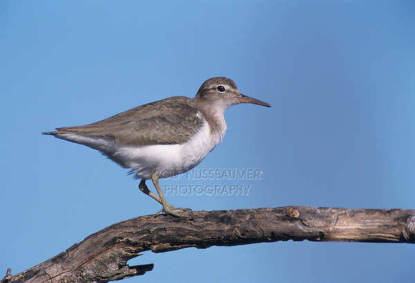 Spotted Sandpiper, Actitis macularia,adult, winter plumage, Lake Corpus Christi, Texas, USA