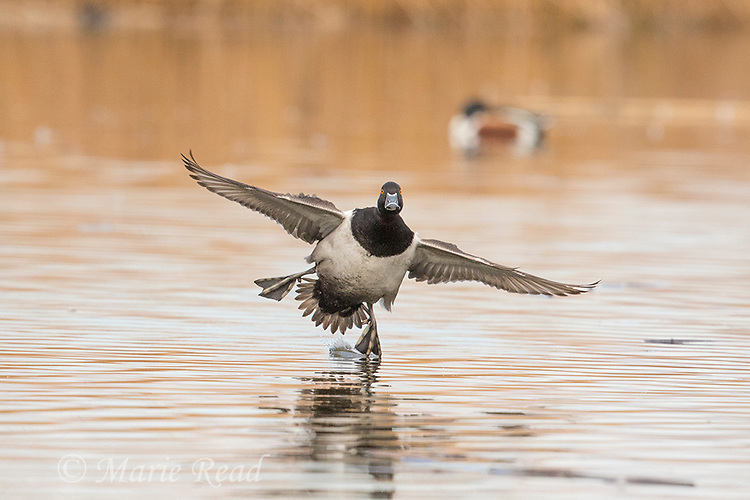 Ring-necked Duck (Aythya collaris), male in breeding plumage flying in to land on water, Henderson, Nevada.