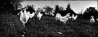 Europe/France/Bourgogne/71/Saône-et-Loire/ Louhans: élevage de poulets de Bresse AOC - poulets en plein air