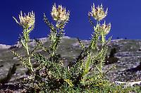 Alpen-Kratzdistel, Alpenkratzdistel, Stachel-Kratzdistel, Vielstachel-Kratzdistel, Kratzigste Kratzdistel, Cirsium spinosissimum, Spiniest thistle
