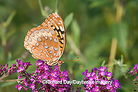 03322-017.08 Great Spangled Fritillary (Speyeria cybele) on Butterfly Bush (Buddleia davidii) Marion Co. IL