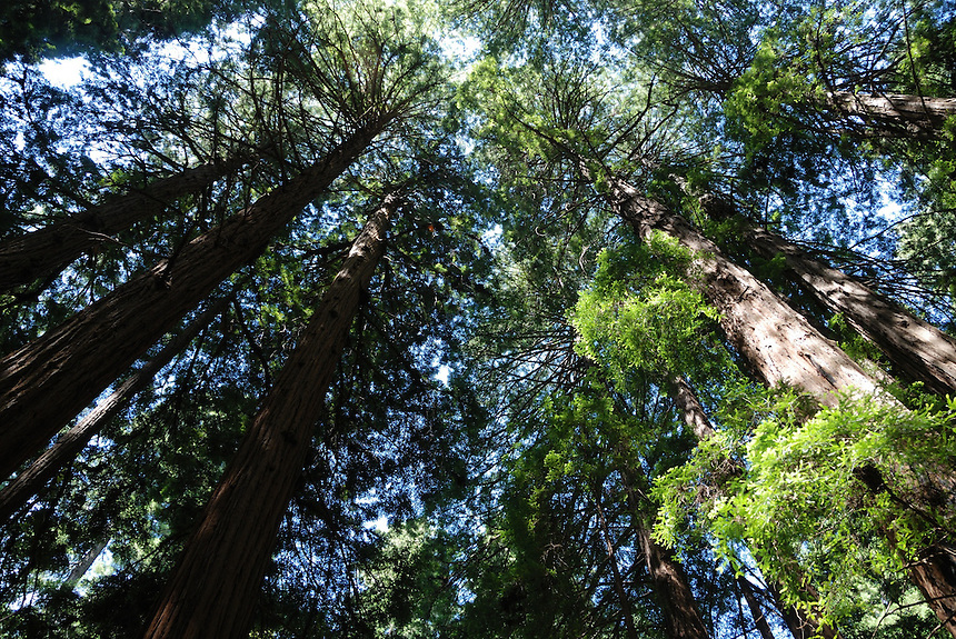 Redwood trees in California's Muir Woods National Monument