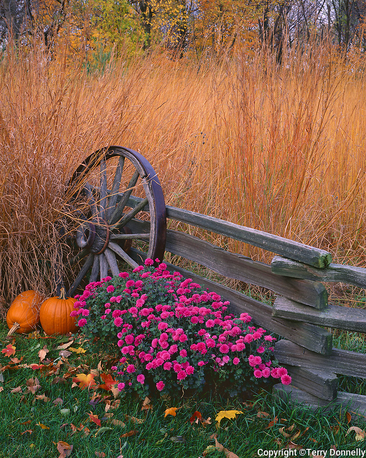 Bureau County, IL: Fall scene of native prairie grasses, pumpkins, chrysanthemums with weathered split rail fence wagon wheel