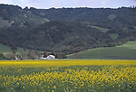 a field of yellow mustard flowers, Sonoma County California