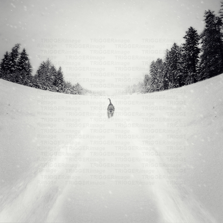 A small dog walking in heavy snow past fir trees