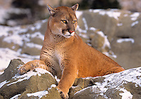 6565326207 a captive mountain lion felis concolor lays on snow covered boulders in central montana