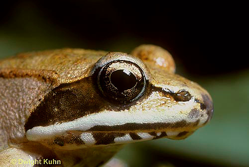 FR19-008b  Wood Frog - close-up of head and eye - Lithobates sylvaticus, formerly Rana sylvatica
