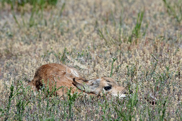 Young Pronghorn Antelope fawn lying still to avoid detection from predators--its best defense during the first week or two of life.  Western U.S., June.