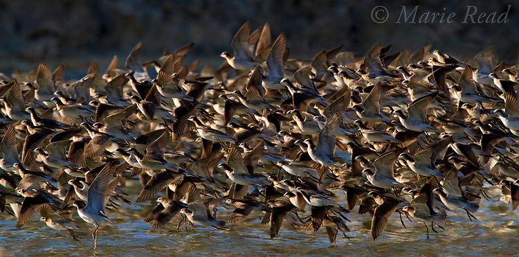Wilson's Phalaropes (Phalaropus tricolor) flock taking flight, South Tufa, Mono Lake, California, USA