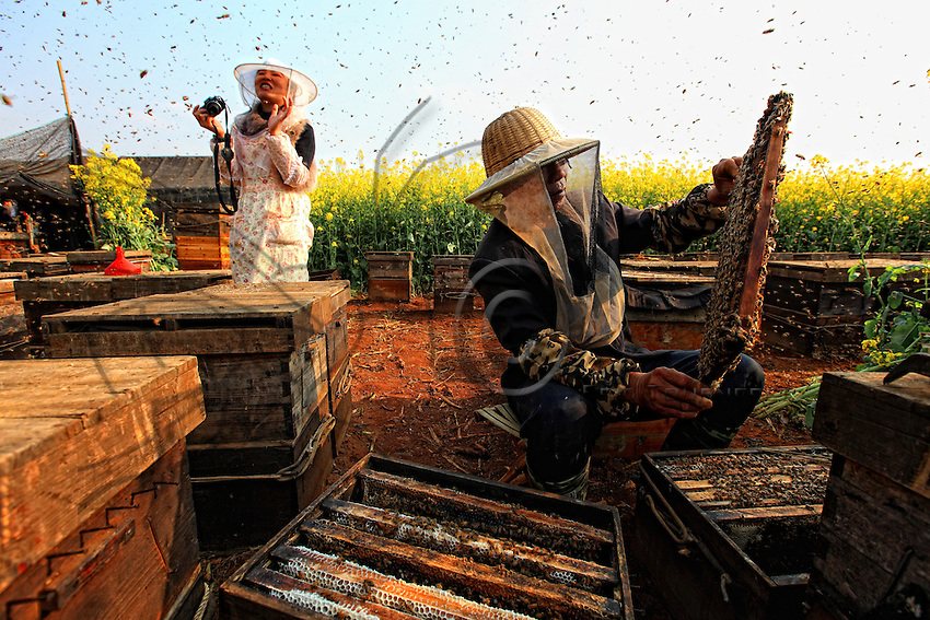 Luoping, Yunnan. Monsieur Huang s'est installé dans les champs de colza. Il ouvre une ruche pour récolter chaque jour du miel pour ses meilleurs clients du moment, les touristes.///Luoping, Yunnan.  Mister Huang in a field of rape. He is opening a hive from which he harvests honey every day for his best customers at the moment, the tourists.