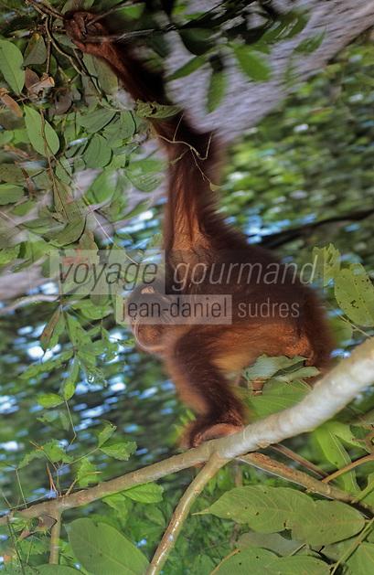 Asie/Malaisie/Sabah/Kota Kinabalu: Réserve de Sepilok - Détail orang-outan