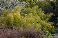 Otatea acuminata aztecorum Mexican Weeping Bamboo with grasses, Huntington Botanic Garden