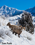 Bighorn sheep rams in winter. Yellowstone National Park, Wyoming.
