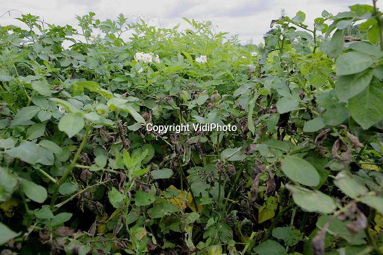 Foto: VidiPhoto..WAGENINGEN - Gezonde en ziekte aardappelplanten op het onderzoeksveld van PRI in Wageningen.