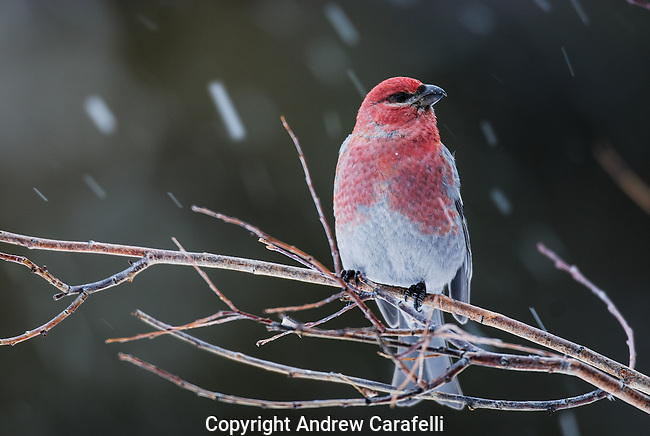 A male Pine Grosbeak, the largest member of the Finch family, perches on a branch as light snow falls near Cameron Pass, Colorado.