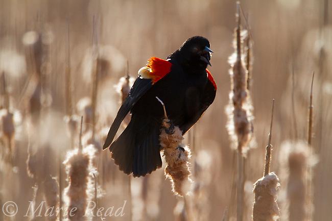 Red-winged Blackbird (Agelaius phoeniceus) male displaying in cattail marsh, backlighting, Ithaca, New York, USA