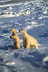 A mother polar bear and her cub examine the snowy landscape around them.