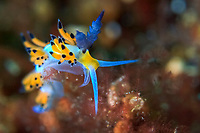 Nudibranch, Flabellina babai, Bitung, Lembeh Strait, Sulawesi, Celebes Sea, Indo-Pacific, Indonesia