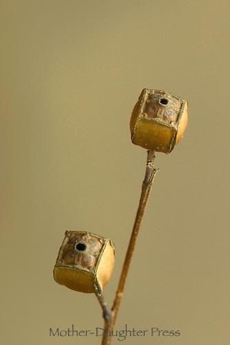 Lugwigia -- seedbox wildflower- known as rattlebox, dried seedpod.  Midwest USA