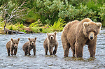 Brown bear and three cubs, Katmai National Park, Alaska