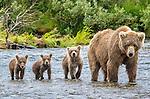 Brown bear and three cubs, Katmai National Park, Alaska