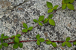 Blackberry vine on rock, South Yuba River State Park, Nevada County, California