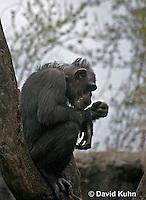 0209-08rr  Silhouetted Chimpanzee, Pan troglodytes © David Kuhn/Dwight Kuhn Photography